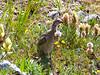 A baby Ptarmigan amid wildflowers in the upper Missouri Gulch, Colorado Sawatch Range.