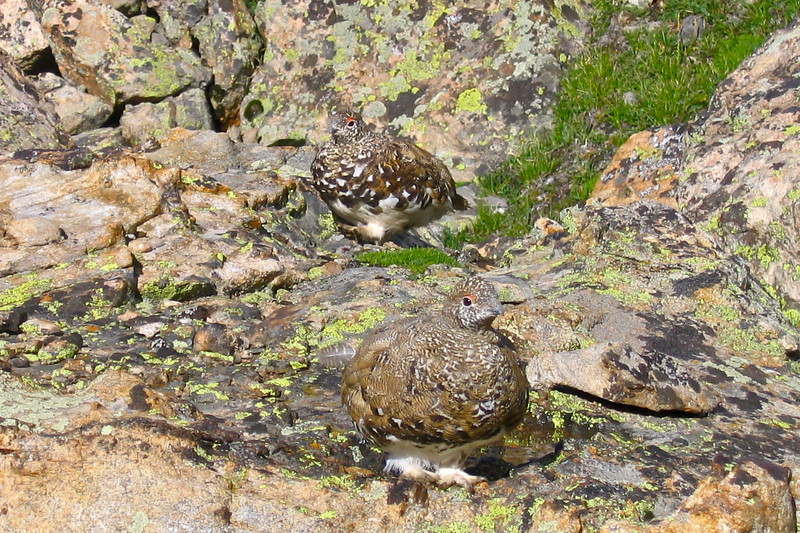 Plump Ptarmigans on the southwest slopes of Mt. Massive, Colorado Sawatch Range