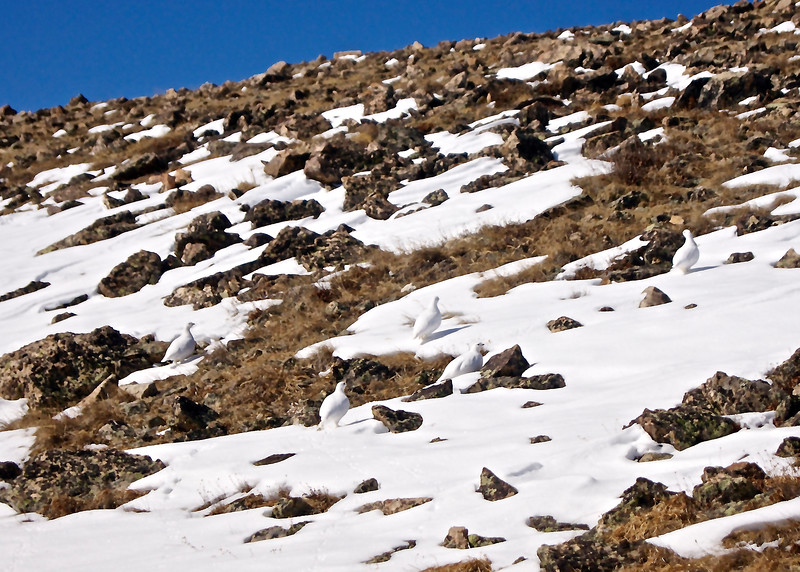 A family of Mountain Ptarmigans in their winter camouflage; Mount Elbert, east ridge; Colorado Sawatch Range.
