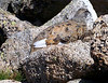 This Ptarmigan blends perfectly with the tumbled granite. Colorado Sawatch Range.