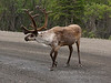 Caribou on the road.