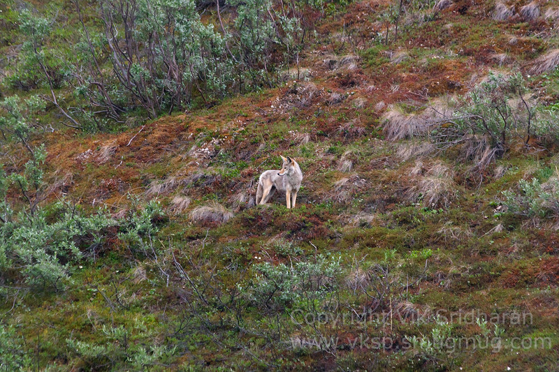 A pair of coyote were hunting by the road.  One was on the hill on the side....