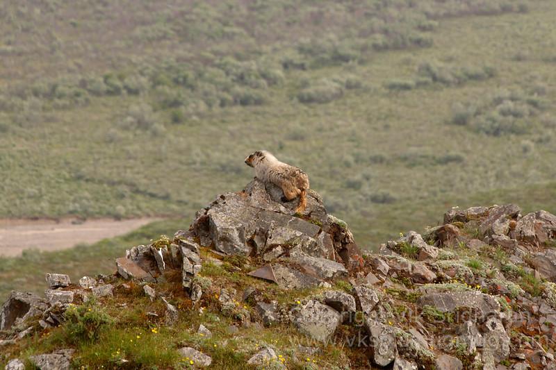 A marmot surveying his kingdom.