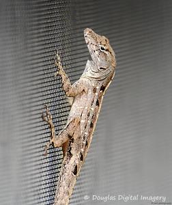 lizard001