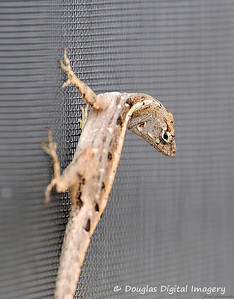 lizard002