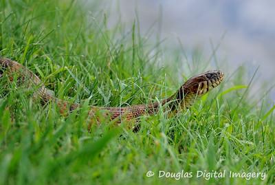 water_snake001