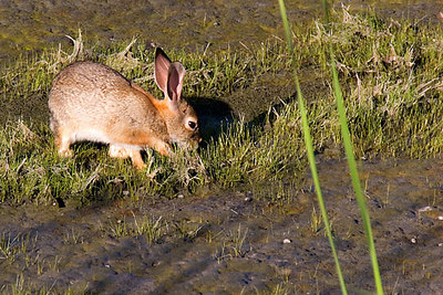 Cottontail rabbit lunching on grass shoots