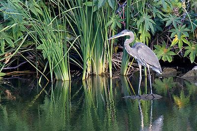 Great Blue Heron on San Diego Creek