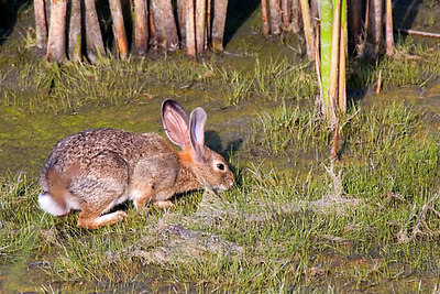 Another Cottontail.  They are all over the place.