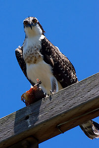 Osprey and his fish hanging out on a utility pole