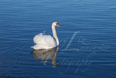 Swan_2506