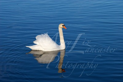 Swan_2508