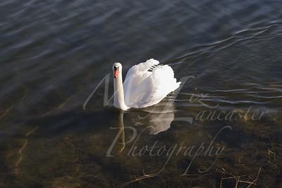 Swan_2566
