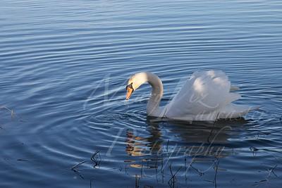 Swan_2527