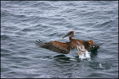 The Great Pelican Rescue...