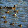 Female Wood Duck and Chicks