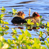 Young Coots: A clutch of baby American Coots (Fulica Aremicana) find food and shelter along the shore of the San Diego River at Mast Park in Santee, California.