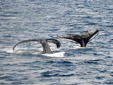 humpback005