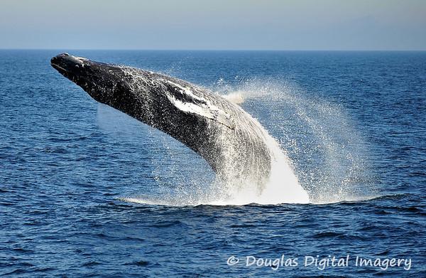 humpback_breach001
