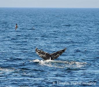humpback002