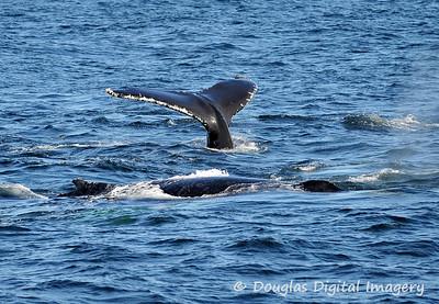 humpback011