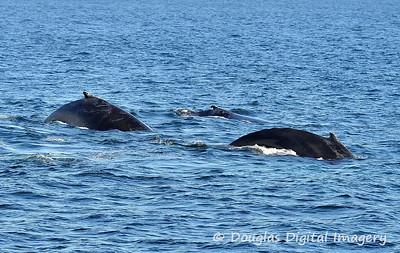 humpback009