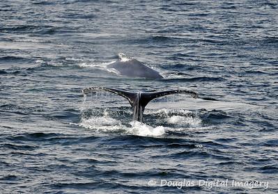 humpback004