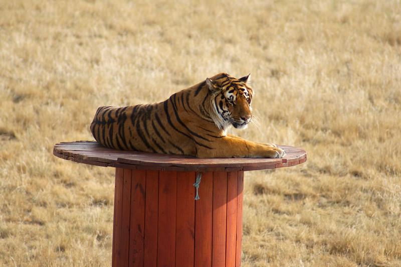 A tiger on his favorite perch; The Wild Animal Sanctuary, Colorado.