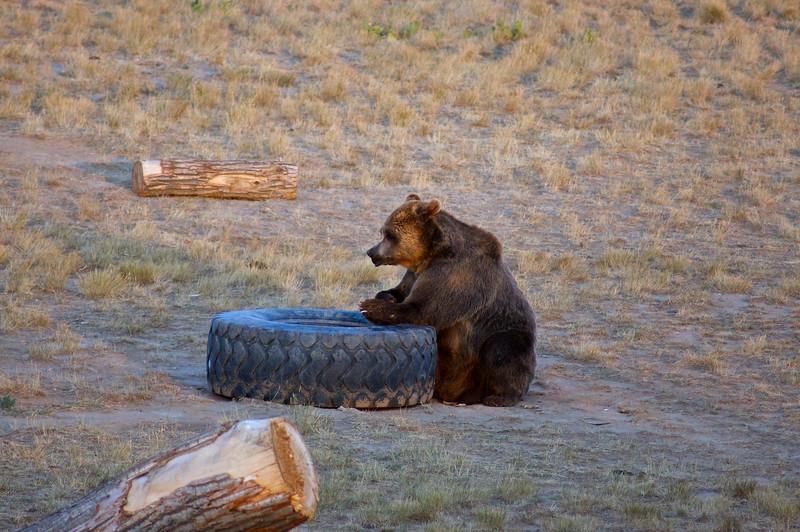 Grizzly bear;  The Wild Animal Sanctuary, Colorado.