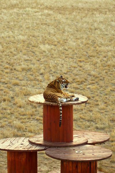 Bengal tiger; The Wild Animal Sanctuary, Colorado.