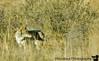 Coyote, Bitterlake National wildlife refuge, NM