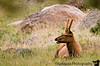 Bull elk, Rocky Mountain NP, Colorado