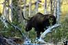 Moose, Yellowstone NP