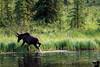 Moose at the lake, Alaska