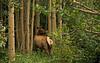 Elk, Rocky Mountain NP, Colorado