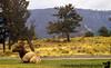 Yellowstone elk,