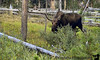 Moose attack, Yellowstone NP, Wyoming