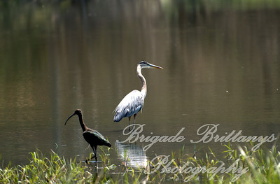 Ibis and Blue Heron