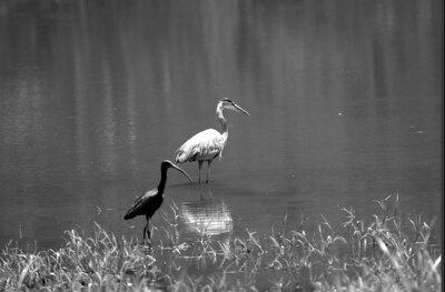 Ibis and Heron
