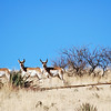 3 NAPS NORTH AMERICAN PRONGHORNS