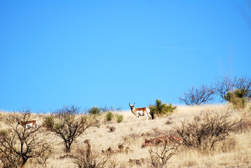 North American Prong Horn aka Antelope