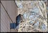 "red shouldered hawk - <i>Buteo lineatus</i>  <a href=""http://www.mbr-pwrc.usgs.gov/id/framlst/i3390id.html"">USGS info</a> norcross, georgia."