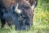Buffalo Head and Horns-6970
