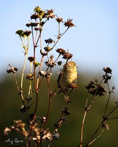 American Goldfinch Iowa