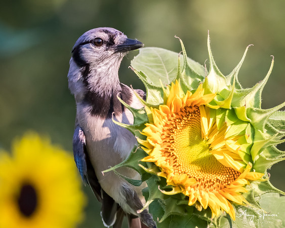 Bluejay on a sunflower