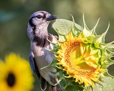 Bluejay on a sunflower