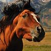Horse, Wilson WY