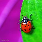 ladybug wm