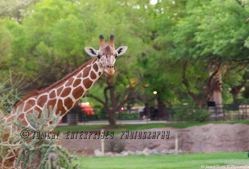 "Giraffe - ""I see you!"""