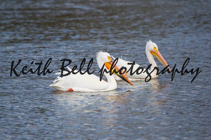 Two American White Pelican Swimming